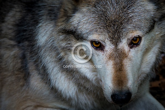 Grey Timber Wolf Portrait
