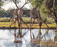 Two Giraffes Drinking