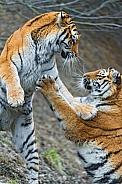 Amur Tigers Playing