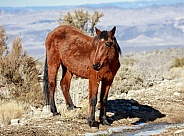 Nevada wild horse drinking from melting snow water
