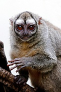 Gray-bellied night monkey (Aotus lemurinus)
