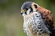 American Kestrel Close Up Side Profile
