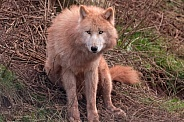 Arctic Wolf Sitting Upright Looking At Camera