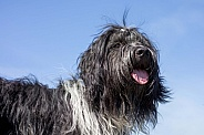 Dutch sheepdog (Schapendoes)