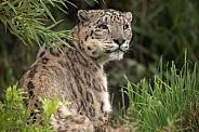 Snow Leopard Looking Over Shoulder