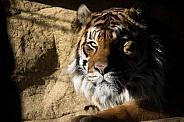 Sumatran Tiger in Shadow