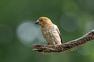 Juvenile Hawfinch