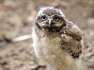 Young Burrowing owl