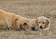 Golden Retriever Puppy with Mother