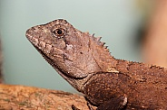Southern Forrest Dragon