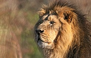 Asiatic Lion Side Profile
