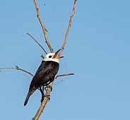 Male White-headed Marsh Tyrant