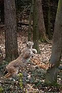 jumping Lynx