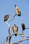 Hooded and Lappetfaced Vultures - Botswana