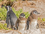 Baby African Penguins