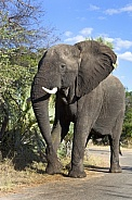 African Elephant - Zimbabwe