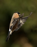 Eurasian Bullfinch in Flight (female)