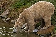 Polar bear drinking