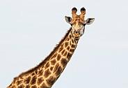 Giraffe (wild)