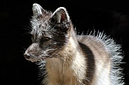 Artic Fox (Summer Coat)