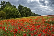 Country meadow of wild flowers - Yorkshire -England