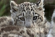 Snow Leopard Cub Peeping Over Fur