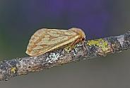 Ghost Moth