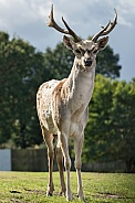 Fallow Deer Full Body Shot