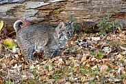 Bobcat Kitten (4 months old)