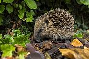 Western Hedgehog