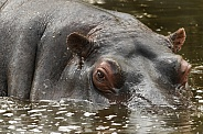 African Hippo, Close up