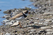 Semipalmated Plover Standing on Shore