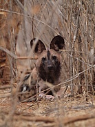 African Wild Dog (Painted dog)