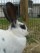 White and Black Pet Rabbit