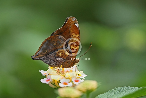 Autumn Leafwing