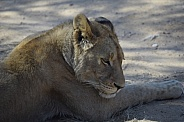 Lioness lying on ground resting