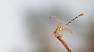 White-faced Meadowhawk, Sympetrum obtrusum