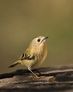 Male Goldcrest