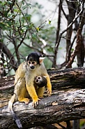 black-capped squirrel monkey with a child