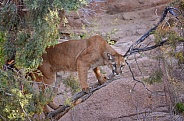 Mountain Lion out on a Limb