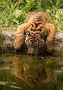 Drinking Sumatran Tiger Cub