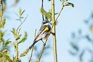 Yellow-rumped Warbler, Mrytle Race