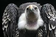 Gyps rueppellii (Rüppell's vulture)