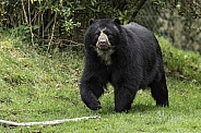 Andean Bear Full Body Shot Walking Through Grass
