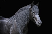 Black Friesian portrait