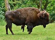 Plains Bison Bull