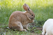 Barnyard Rabbit