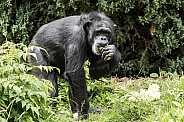 Chimpanzee Full Body Eating Amongst Foliage