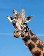 Head shot portrait of a giraffe