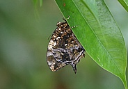 Silver studded Leafwing